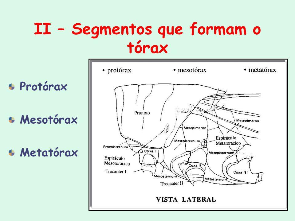 II – Segmentos que formam o tórax