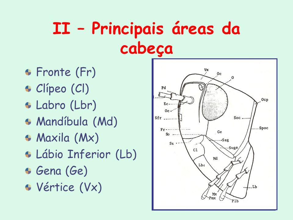 II – Principais áreas da cabeça