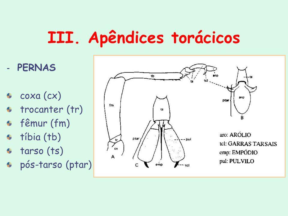 III. Apêndices torácicos