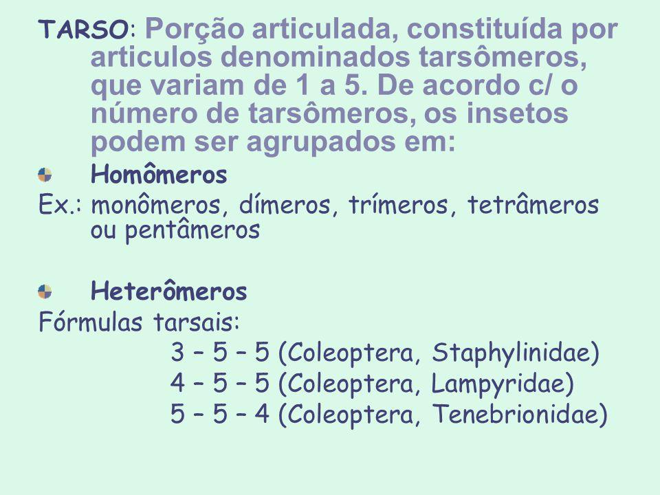 TARSO: Porção articulada, constituída por articulos denominados tarsômeros, que variam de 1 a 5. De acordo c/ o número de tarsômeros, os insetos podem ser agrupados em: