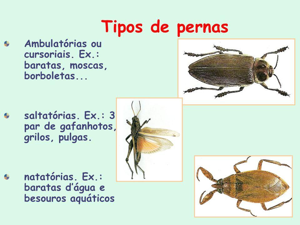 Tipos de pernas Ambulatórias ou cursoriais. Ex.: baratas, moscas, borboletas... saltatórias. Ex.: 3º par de gafanhotos, grilos, pulgas.
