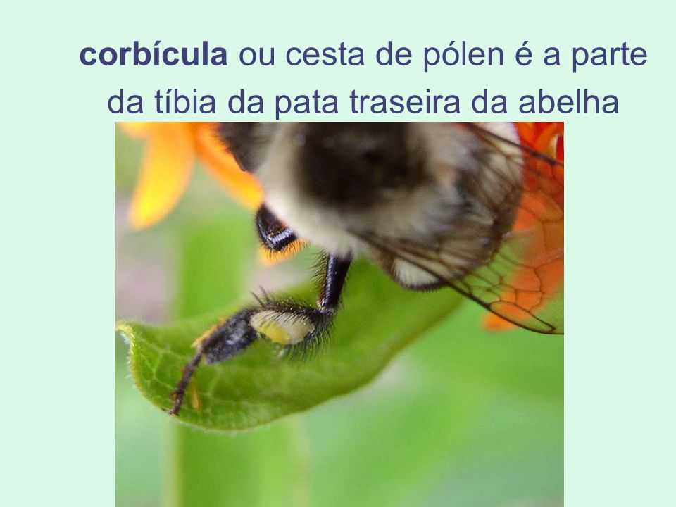 corbícula ou cesta de pólen é a parte da tíbia da pata traseira da abelha