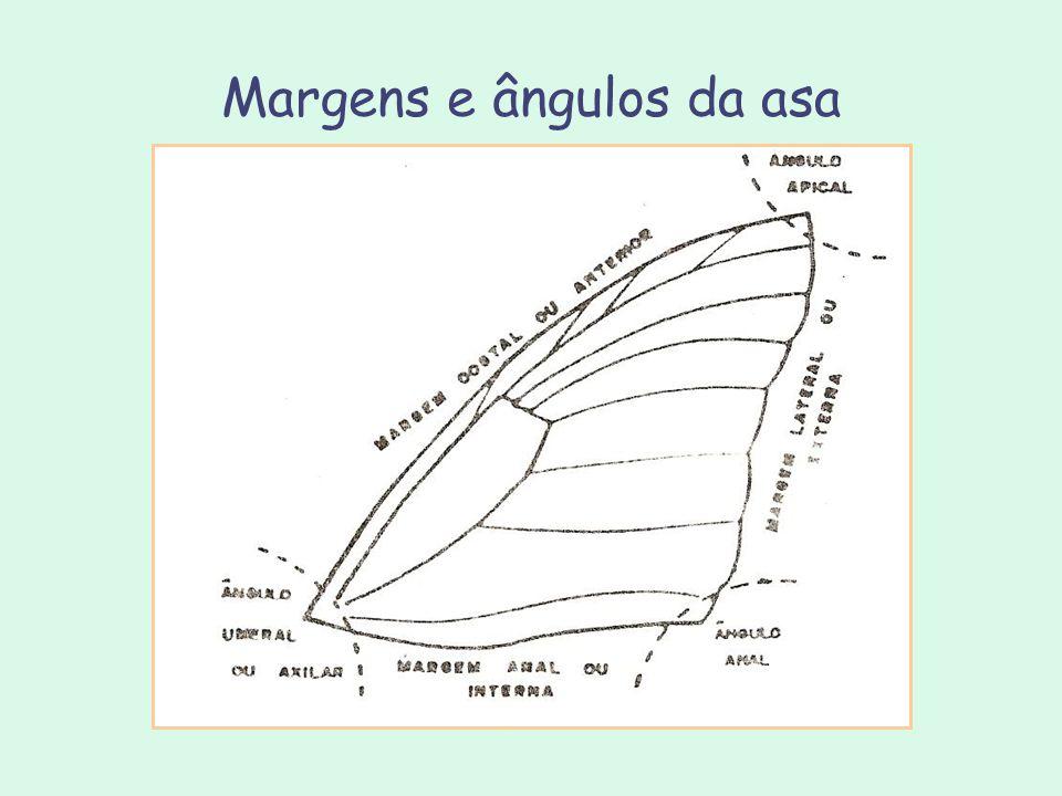 Margens e ângulos da asa