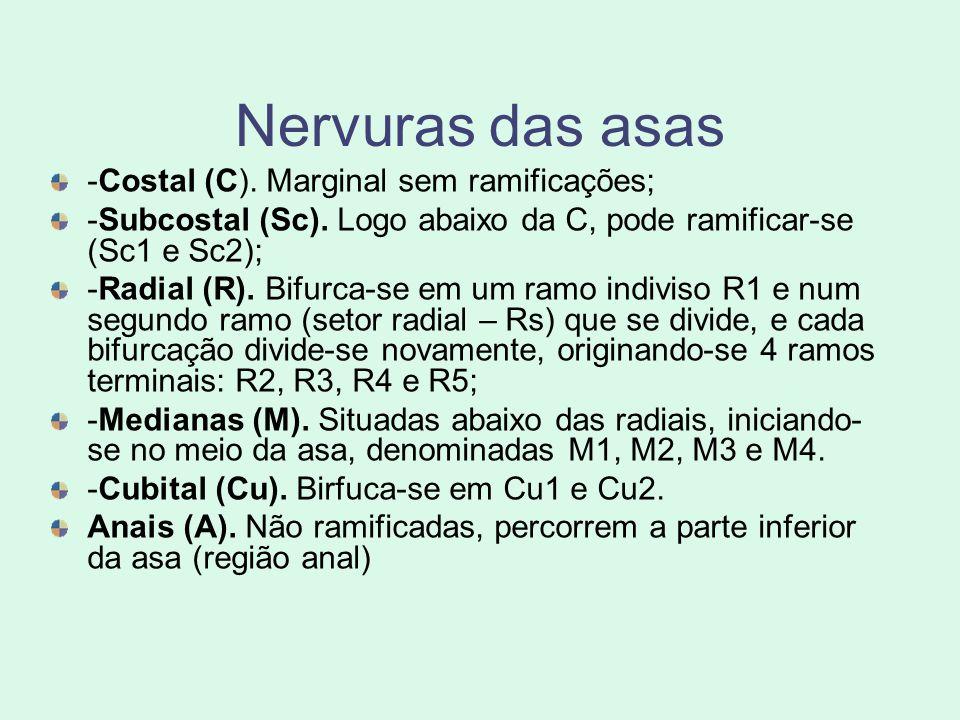 Nervuras das asas -Costal (C). Marginal sem ramificações;