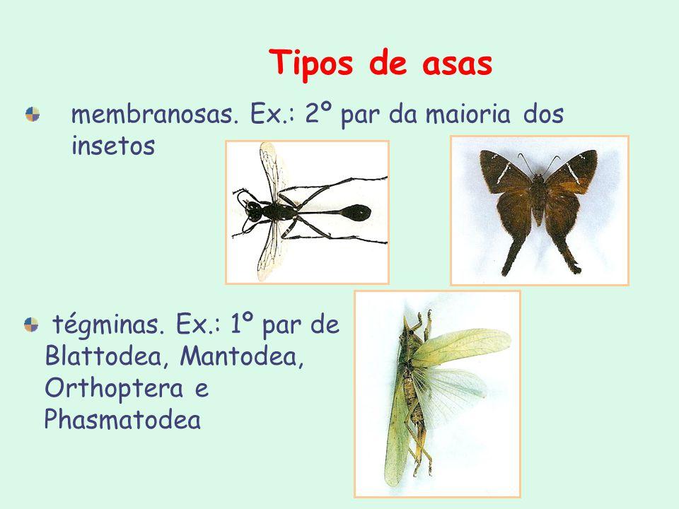Tipos de asas membranosas. Ex.: 2º par da maioria dos insetos