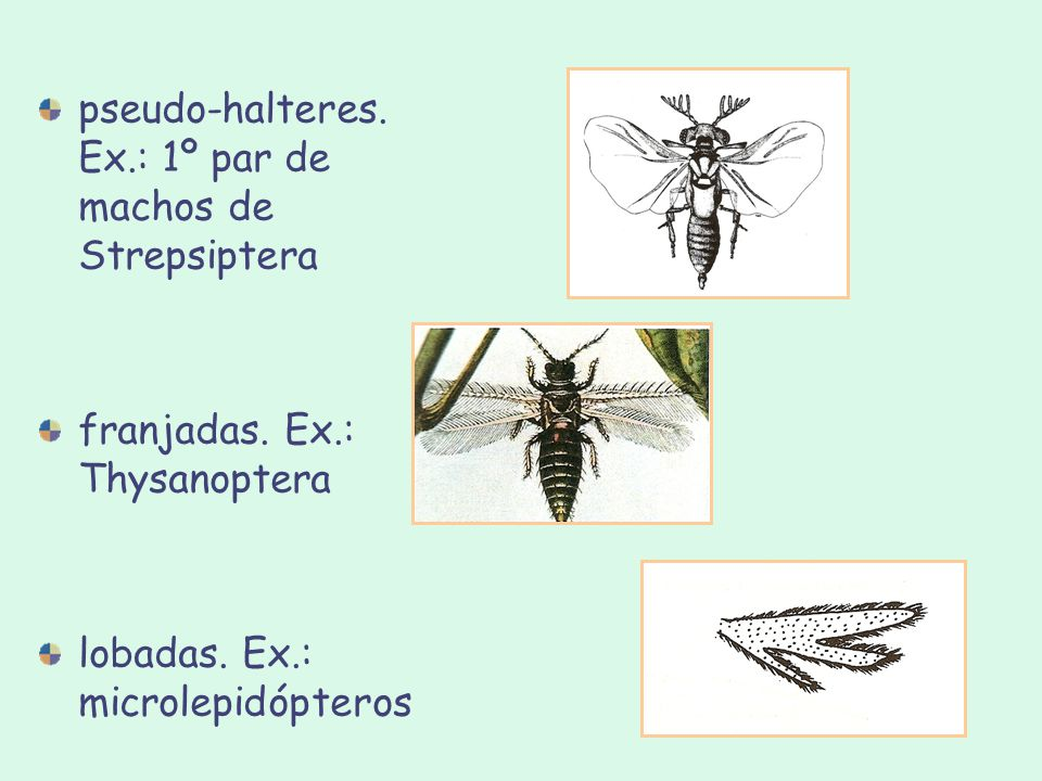 pseudo-halteres. Ex.: 1º par de machos de Strepsiptera