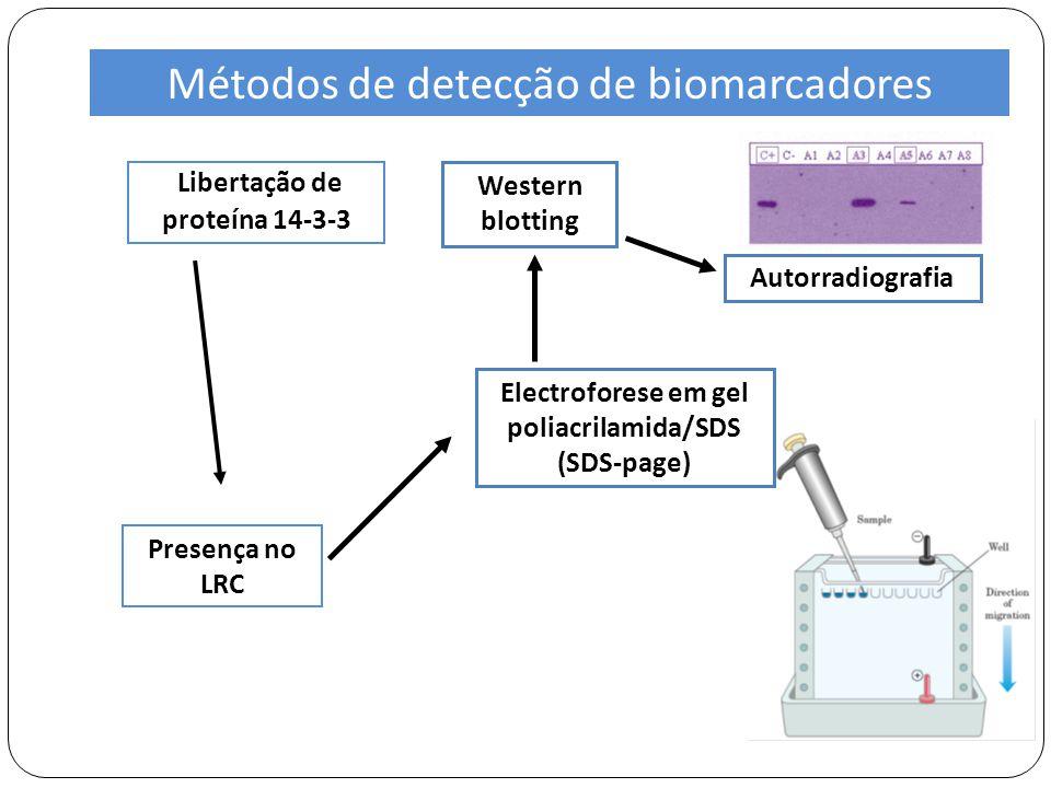 Libertação de proteína 14-3-3 Electroforese em gel poliacrilamida/SDS