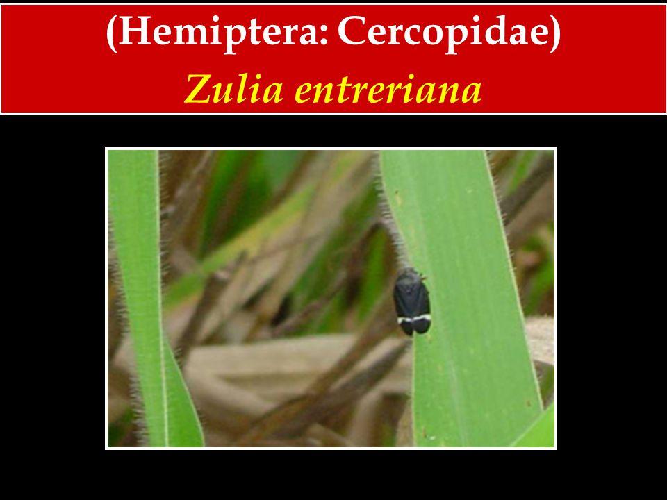 (Hemiptera: Cercopidae)