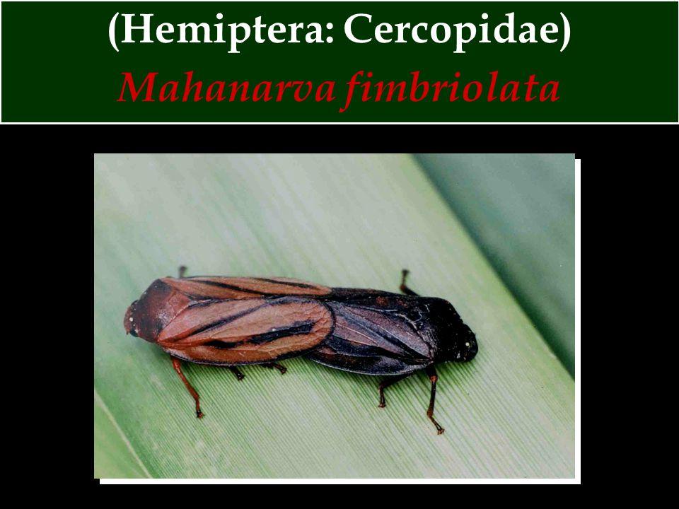(Hemiptera: Cercopidae) Mahanarva fimbriolata