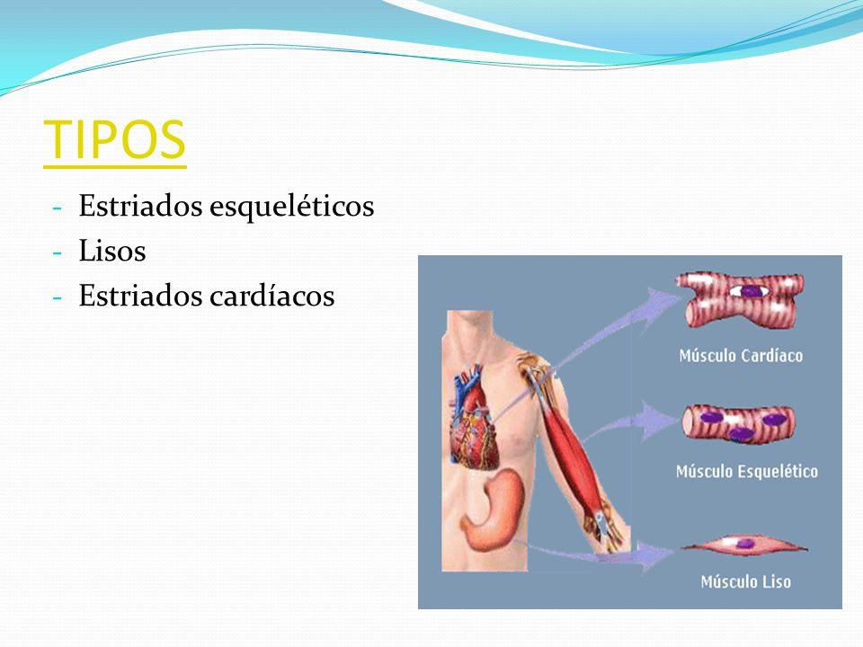 TIPOS Estriados esqueléticos Lisos Estriados cardíacos