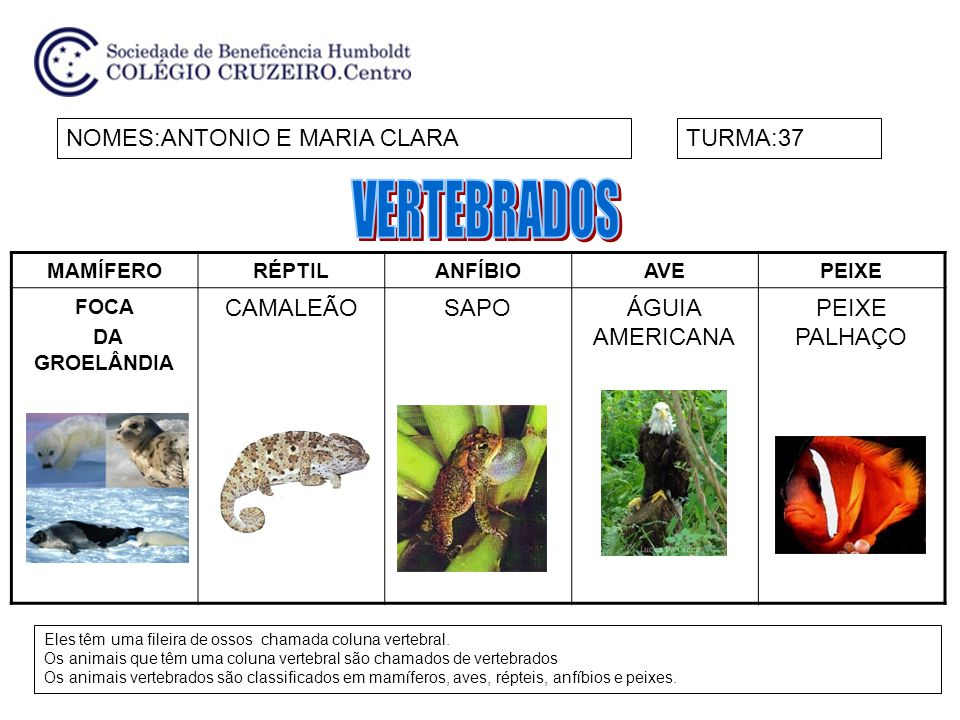 VERTEBRADOS NOMES:ANTONIO E MARIA CLARA TURMA:37 CAMALEÃO SAPO