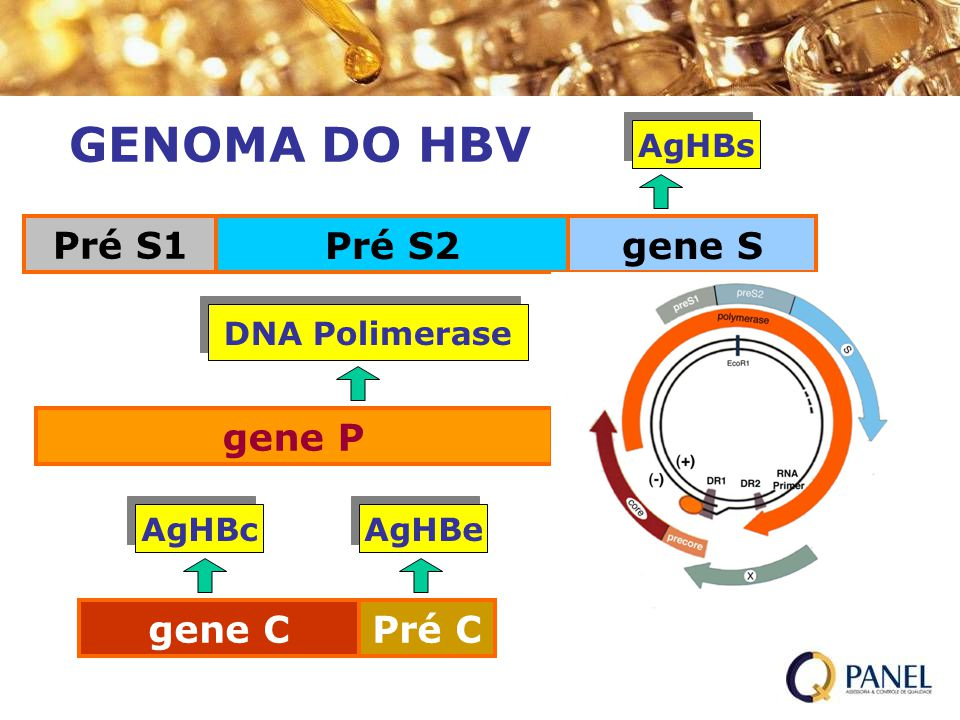 GENOMA DO HBV Pré S1 Pré S2 gene S gene P gene C Pré C AgHBs