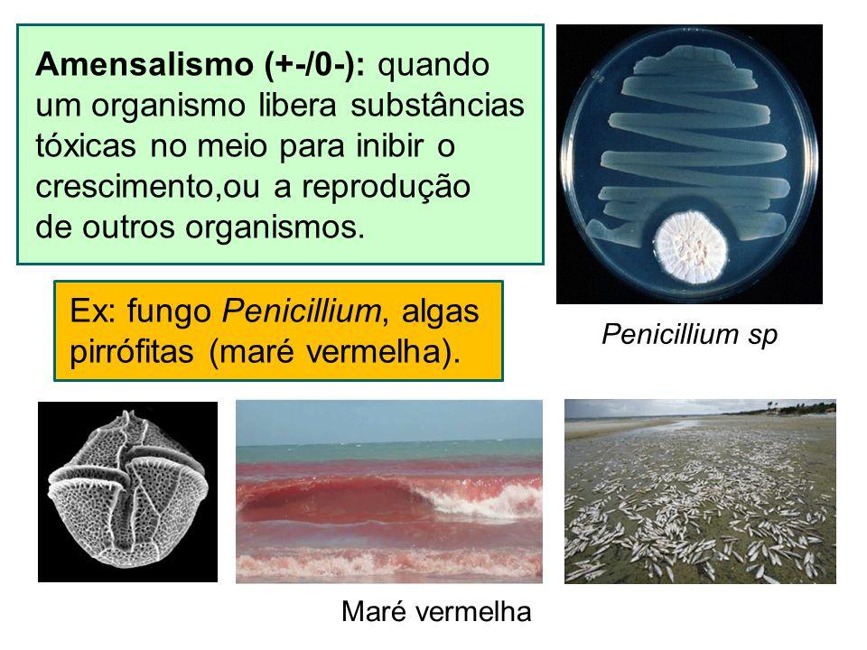 Amensalismo (+-/0-): quando um organismo libera substâncias