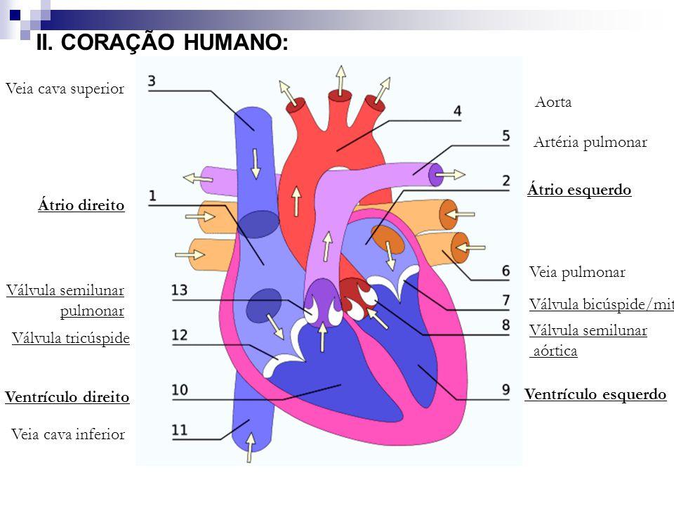 II. CORAÇÃO HUMANO: Veia cava superior Aorta Artéria pulmonar