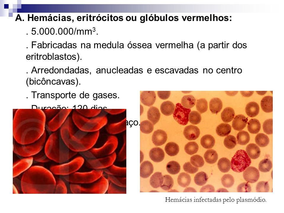 Hemácias infectadas pelo plasmódio.