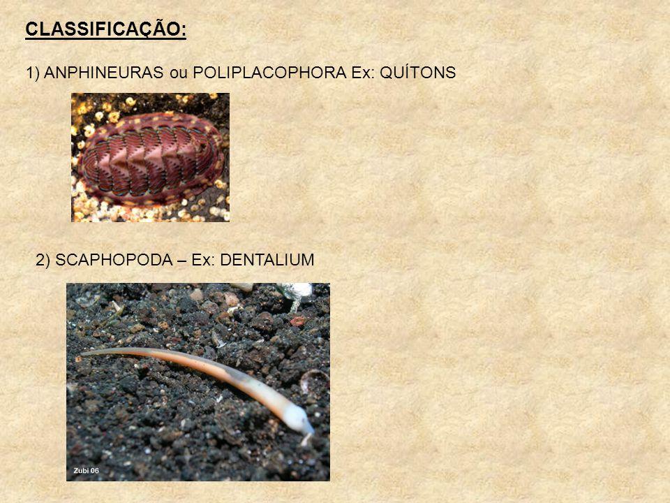 CLASSIFICAÇÃO: 1) ANPHINEURAS ou POLIPLACOPHORA Ex: QUÍTONS