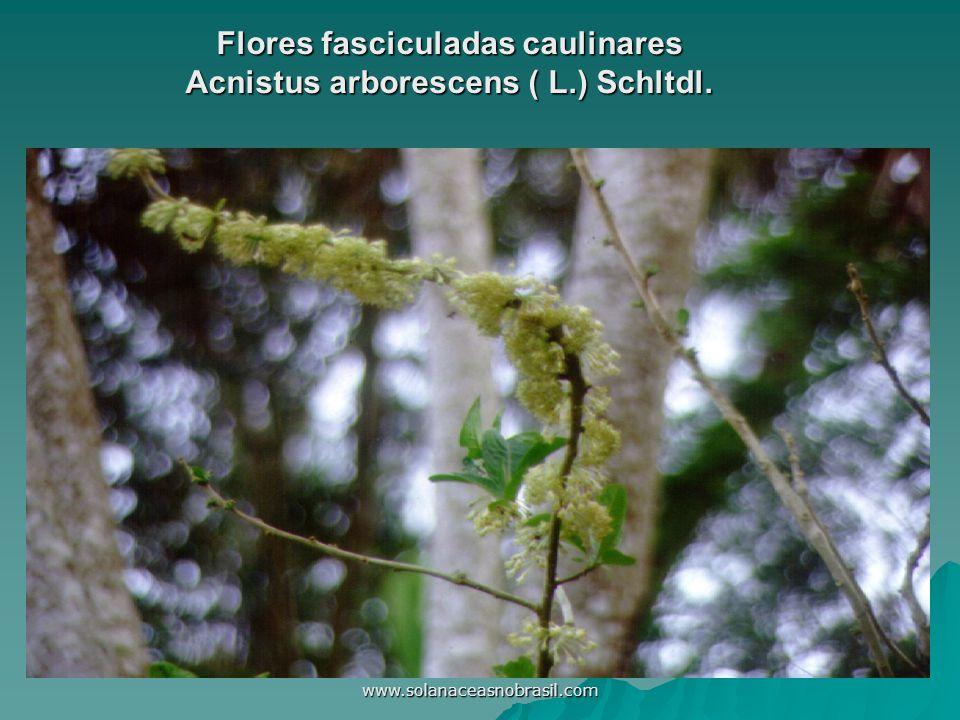 Flores fasciculadas caulinares Acnistus arborescens ( L.) Schltdl.