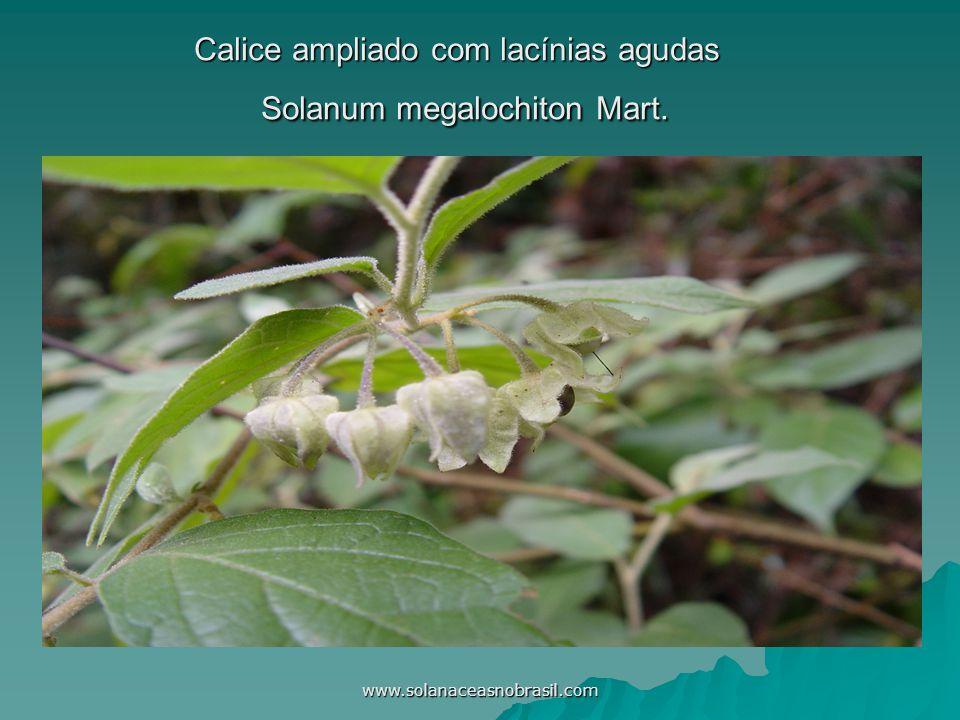 Calice ampliado com lacínias agudas Solanum megalochiton Mart.