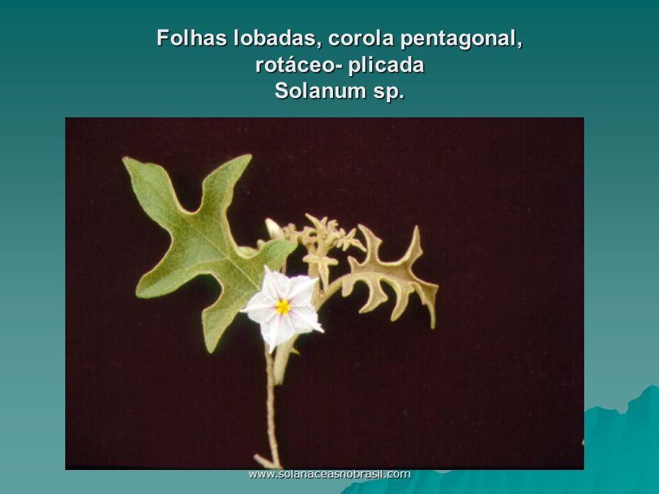 Folhas lobadas, corola pentagonal, rotáceo- plicada Solanum sp.