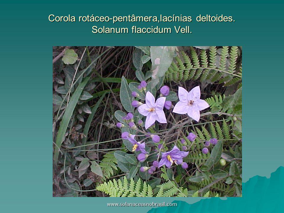 Corola rotáceo-pentâmera,lacínias deltoides. Solanum flaccidum Vell.