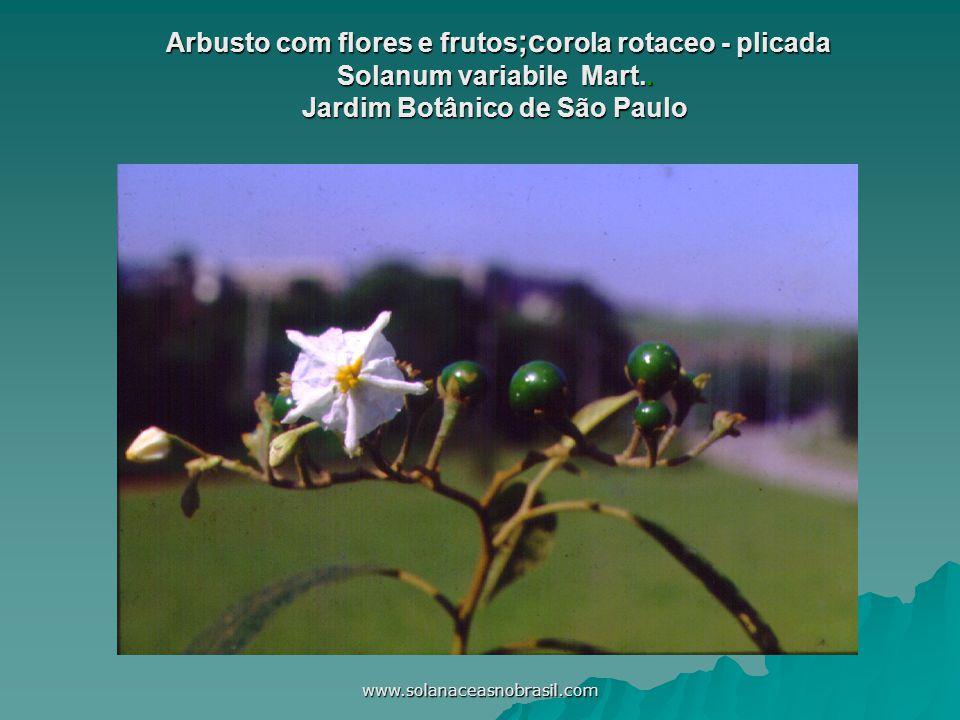 Arbusto com flores e frutos;corola rotaceo - plicada Solanum variabile Mart.. Jardim Botânico de São Paulo