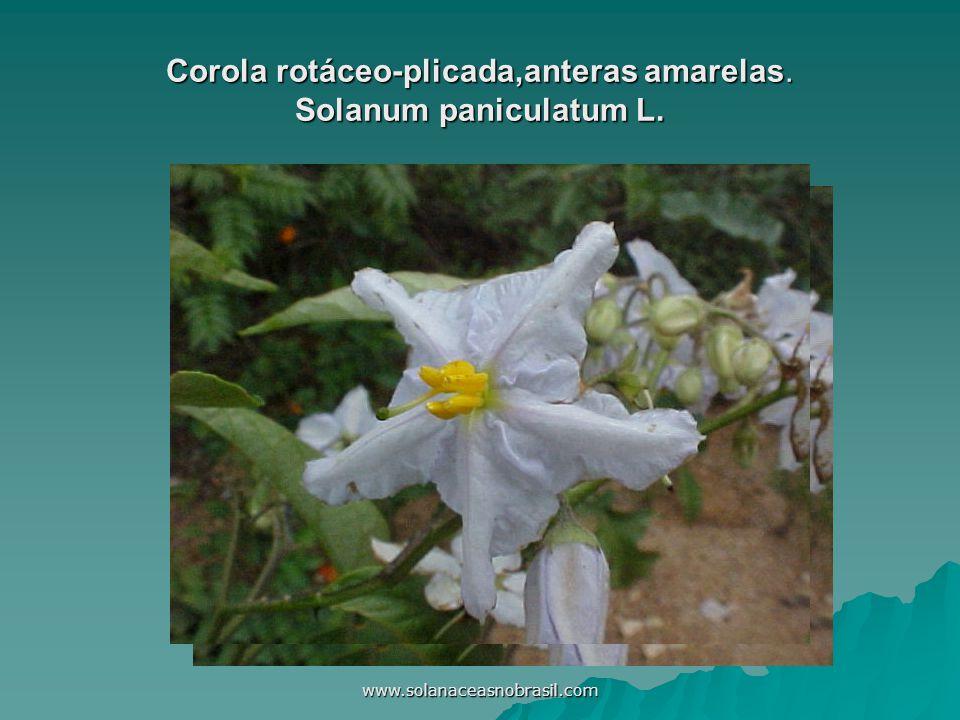 Corola rotáceo-plicada,anteras amarelas. Solanum paniculatum L.