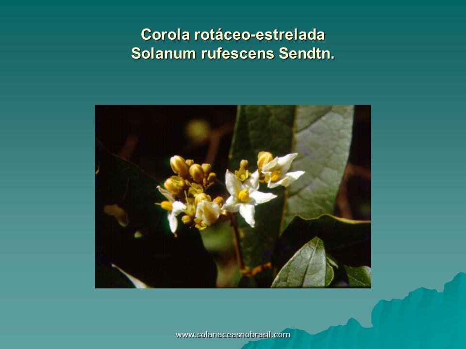 Corola rotáceo-estrelada Solanum rufescens Sendtn.