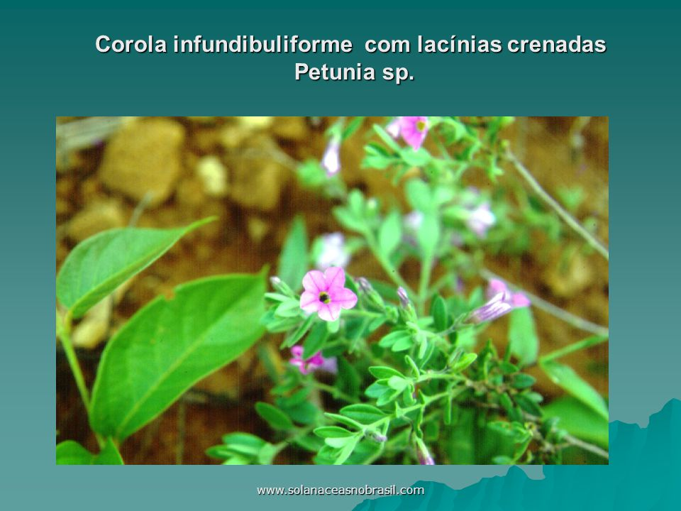 Corola infundibuliforme com lacínias crenadas Petunia sp.