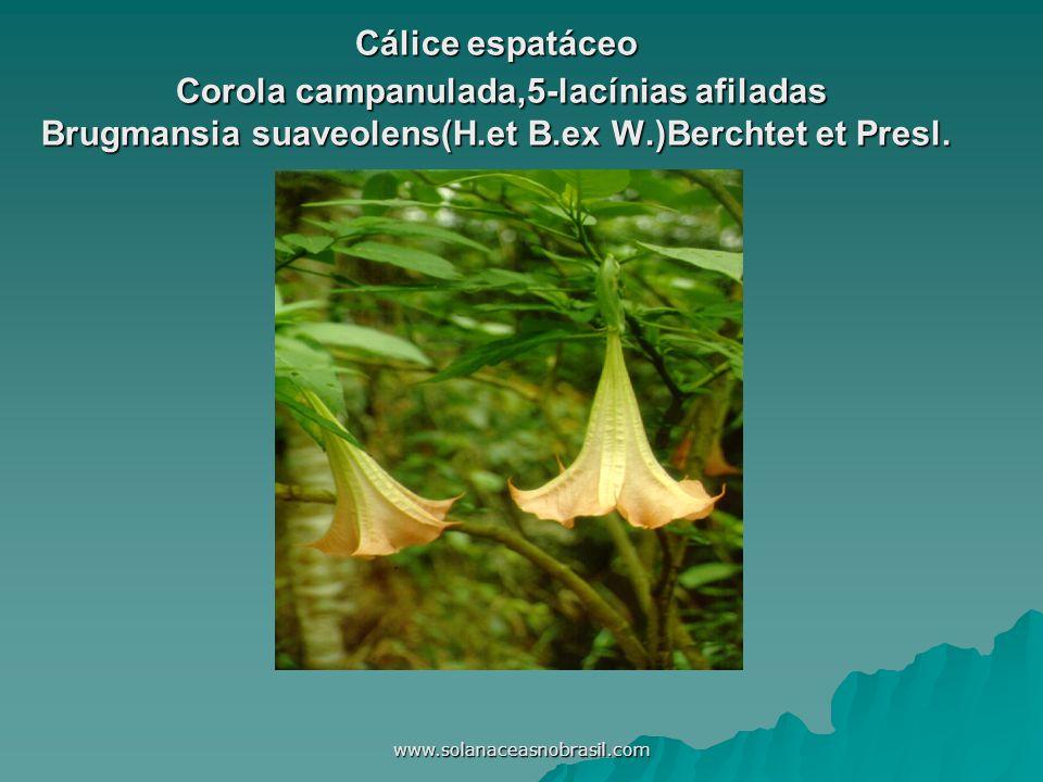 Cálice espatáceo Corola campanulada,5-lacínias afiladas Brugmansia suaveolens(H.et B.ex W.)Berchtet et Presl.