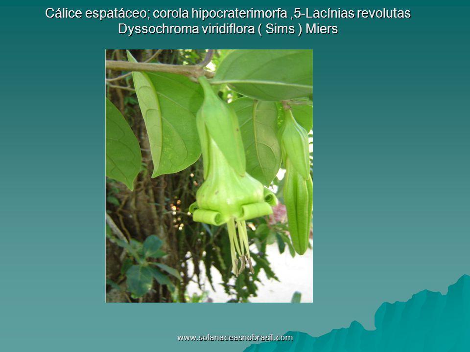Cálice espatáceo; corola hipocraterimorfa ,5-Lacínias revolutas Dyssochroma viridiflora ( Sims ) Miers