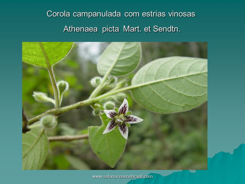 Corola campanulada com estrias vinosas Athenaea picta Mart. et Sendtn.