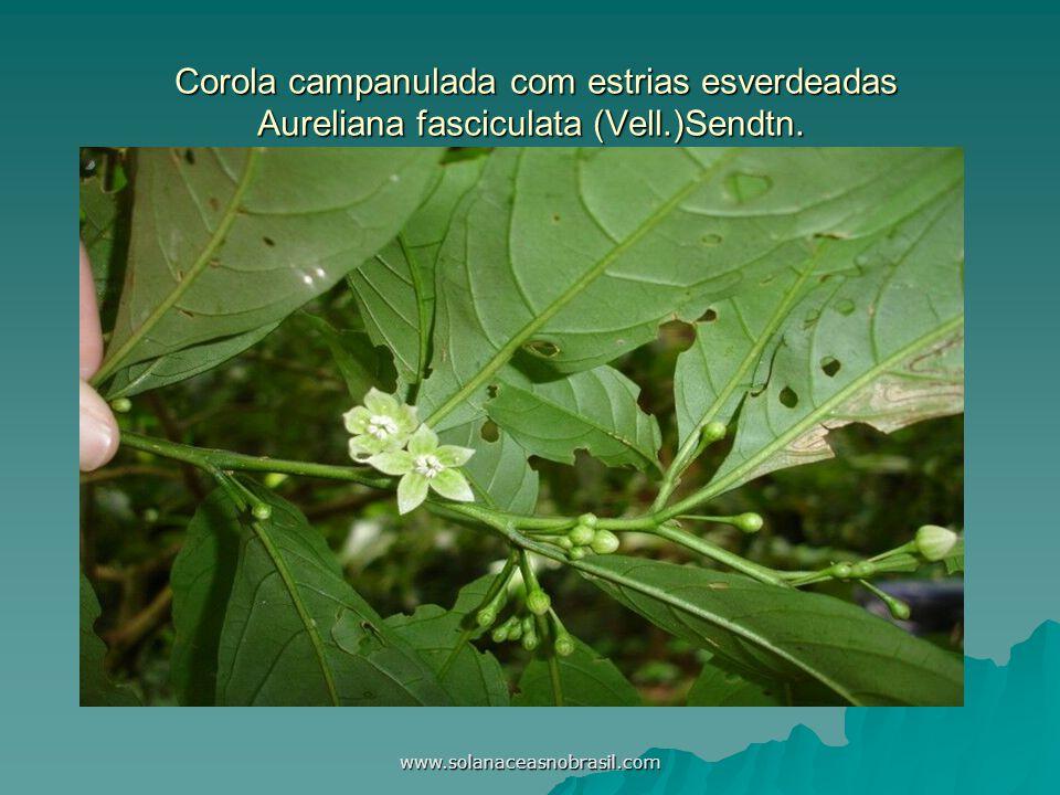 Corola campanulada com estrias esverdeadas Aureliana fasciculata (Vell