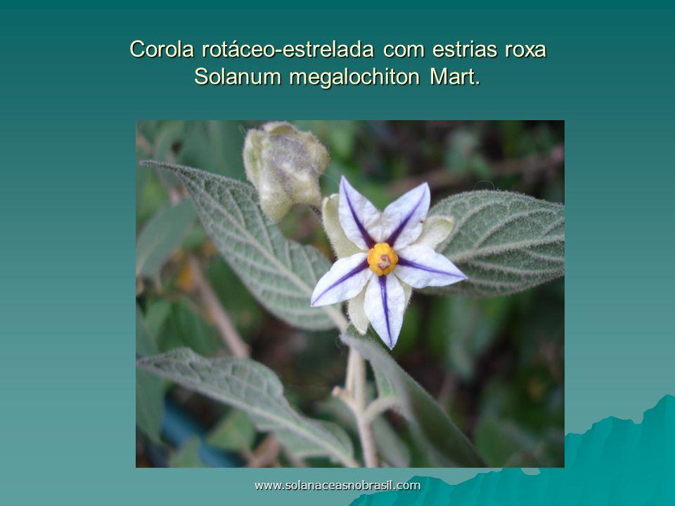Corola rotáceo-estrelada com estrias roxa Solanum megalochiton Mart.