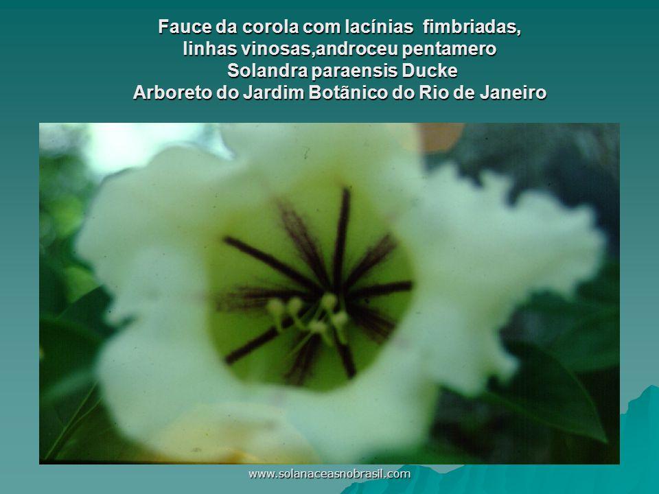 Fauce da corola com lacínias fimbriadas, linhas vinosas,androceu pentamero Solandra paraensis Ducke Arboreto do Jardim Botãnico do Rio de Janeiro