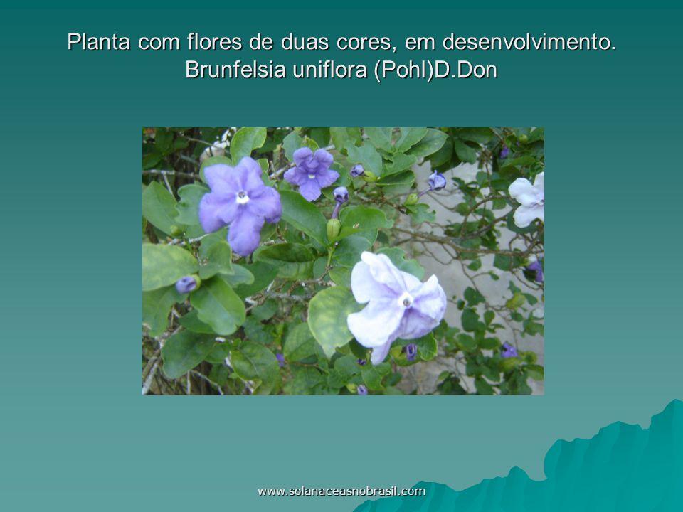 Planta com flores de duas cores, em desenvolvimento