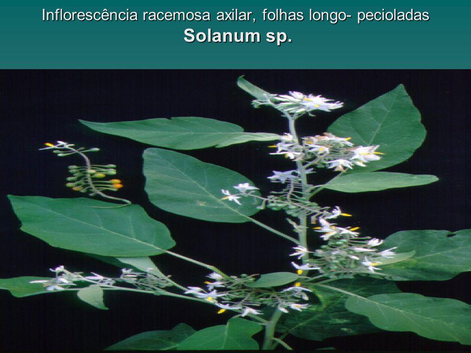Inflorescência racemosa axilar, folhas longo- pecioladas Solanum sp.