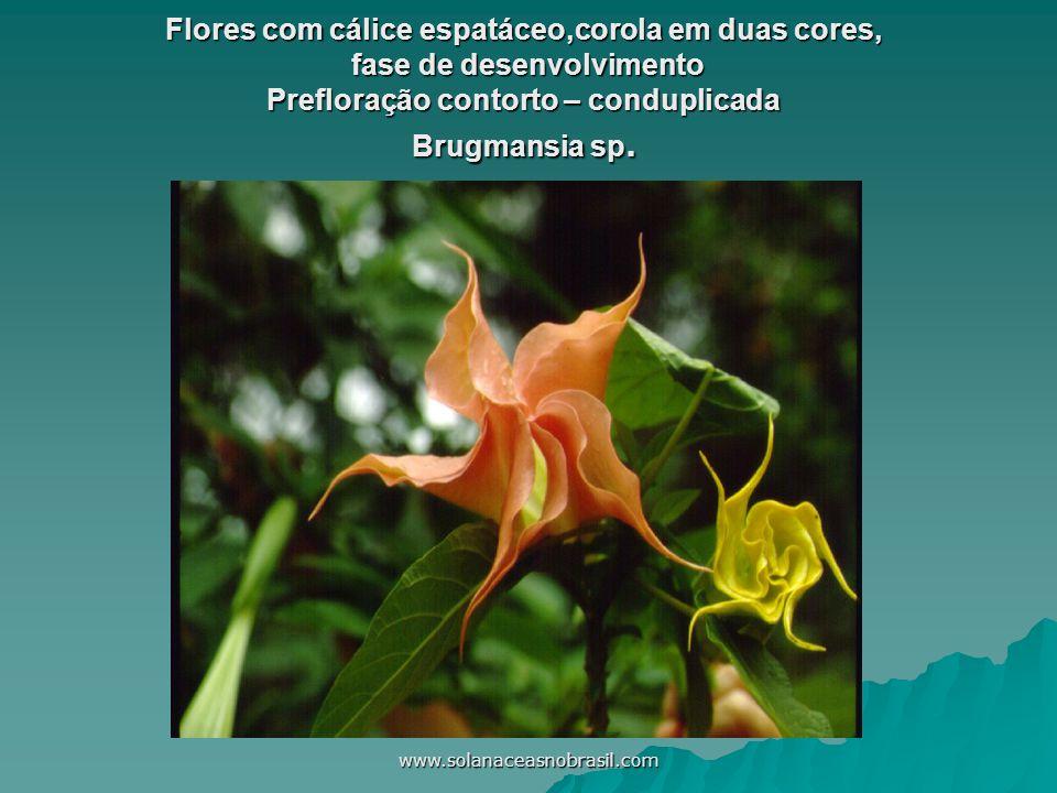 Flores com cálice espatáceo,corola em duas cores, fase de desenvolvimento Prefloração contorto – conduplicada Brugmansia sp.
