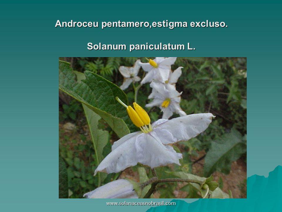 Androceu pentamero,estigma excluso. Solanum paniculatum L.