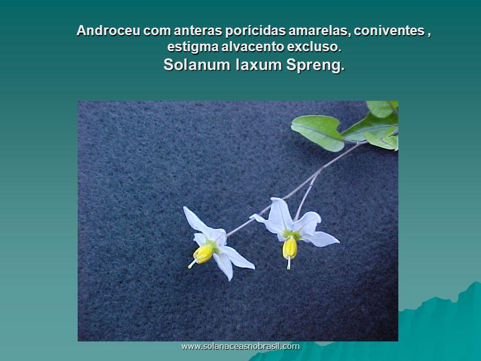 Androceu com anteras porícidas amarelas, coniventes , estigma alvacento excluso. Solanum laxum Spreng.