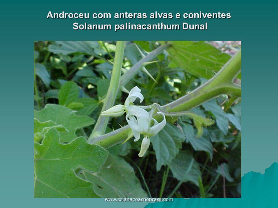 Androceu com anteras alvas e coniventes Solanum palinacanthum Dunal