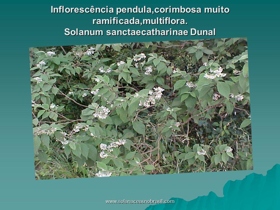 Inflorescência pendula,corimbosa muito ramificada,multiflora