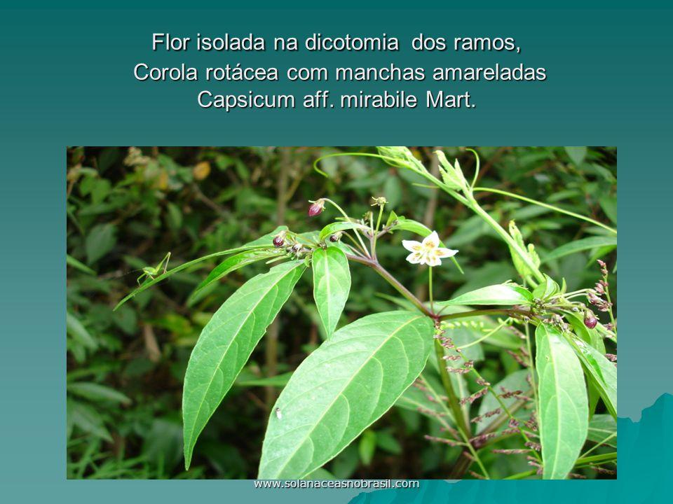 Flor isolada na dicotomia dos ramos, Corola rotácea com manchas amareladas Capsicum aff. mirabile Mart.