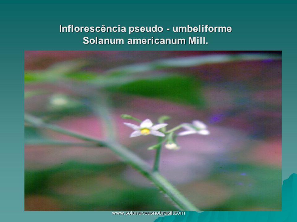 Inflorescência pseudo - umbeliforme Solanum americanum Mill.