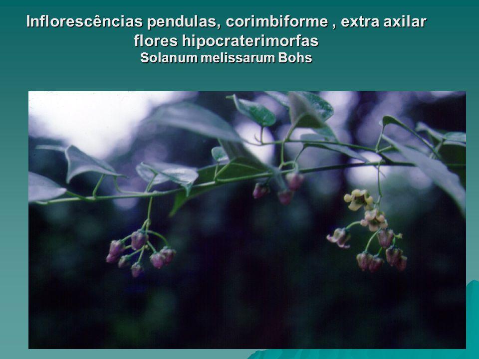 Inflorescências pendulas, corimbiforme , extra axilar flores hipocraterimorfas Solanum melissarum Bohs