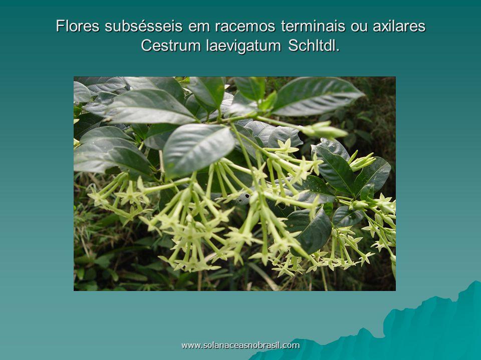 Flores subsésseis em racemos terminais ou axilares Cestrum laevigatum Schltdl.