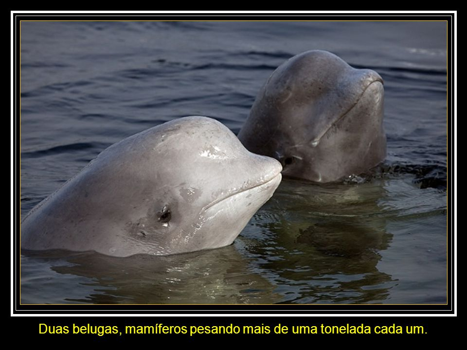 Duas belugas, mamíferos pesando mais de uma tonelada cada um.