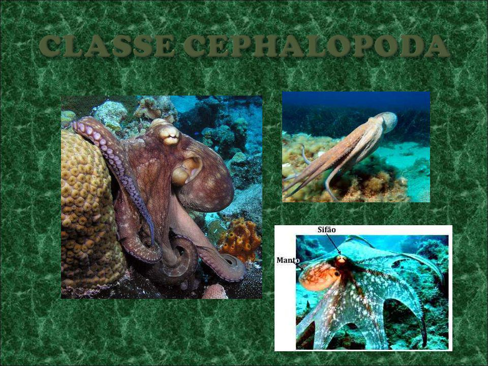CLASSE CEPHALOPODA