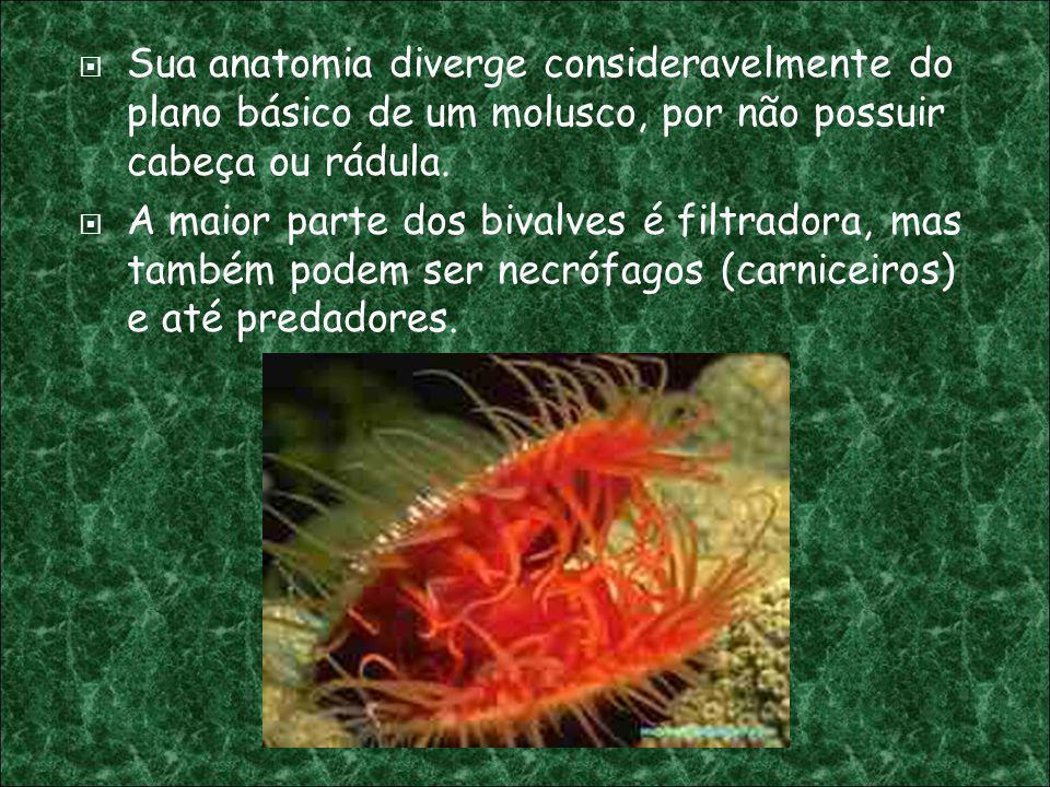 Sua anatomia diverge consideravelmente do plano básico de um molusco, por não possuir cabeça ou rádula.