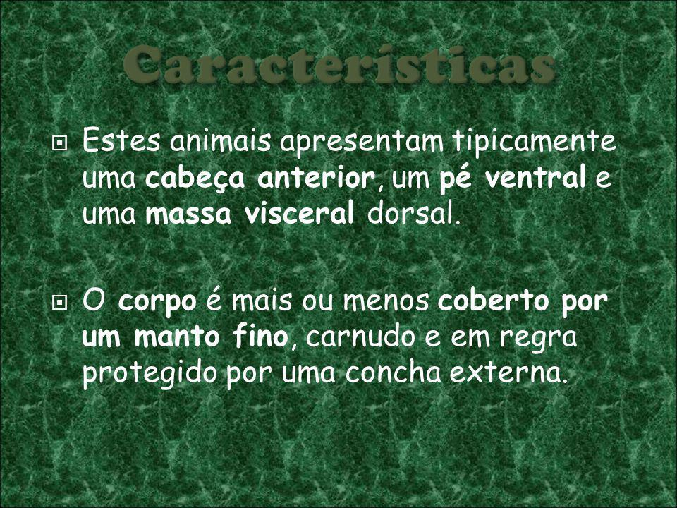 Características Estes animais apresentam tipicamente uma cabeça anterior, um pé ventral e uma massa visceral dorsal.