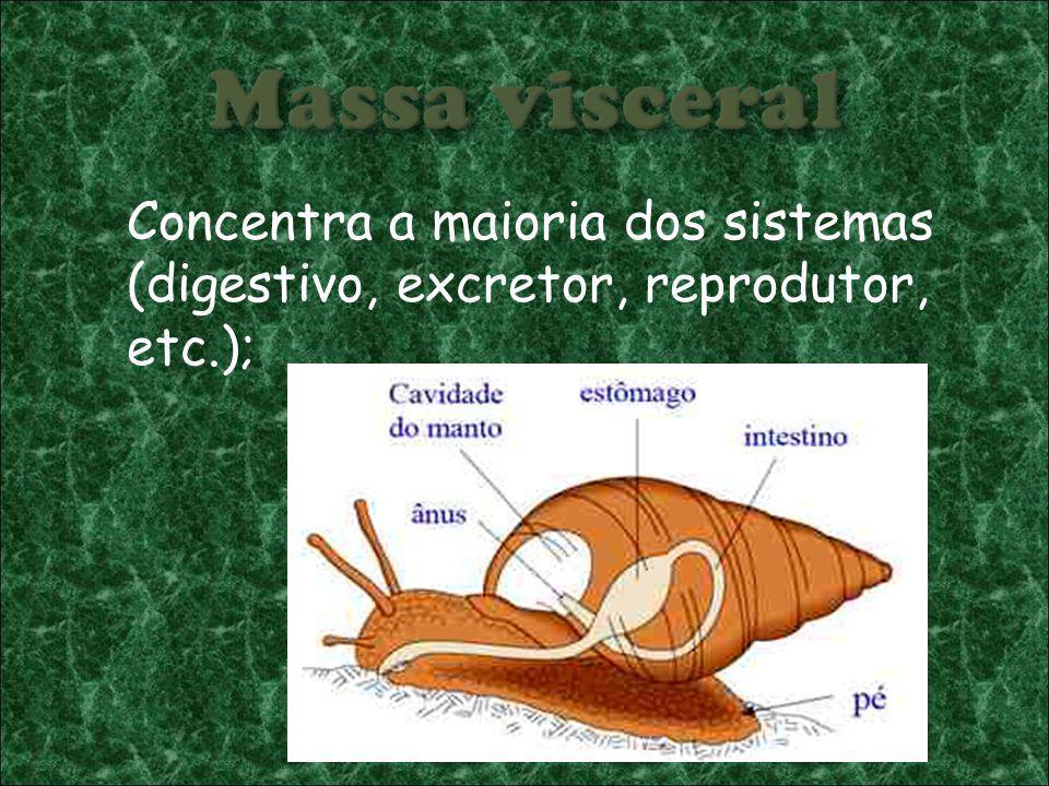 Massa visceral Concentra a maioria dos sistemas (digestivo, excretor, reprodutor, etc.);